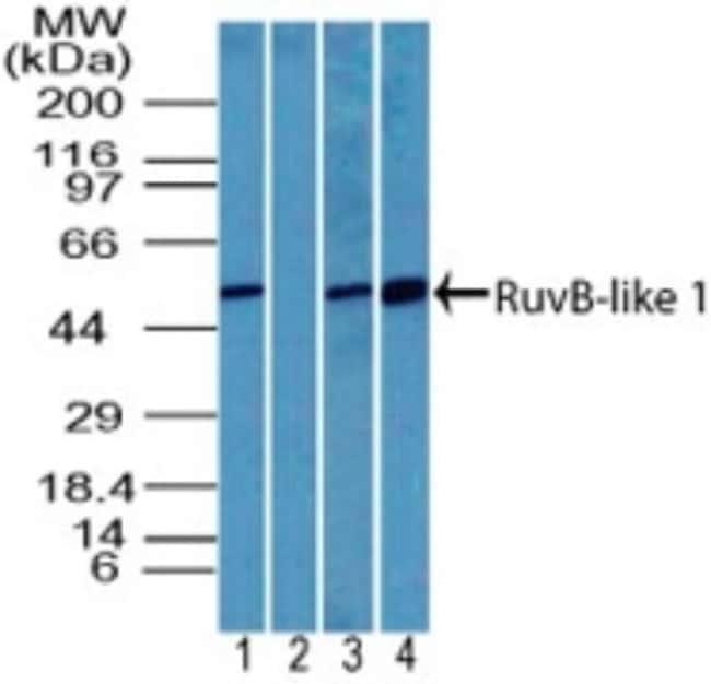 anti-RUVBL1, Polyclonal, Novus Biologicals:Antibodies:Primary Antibodies