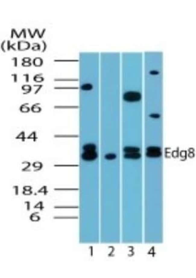 anti-S1P5/EDG-8, Polyclonal, Novus Biologicals:Antibodies:Primary Antibodies