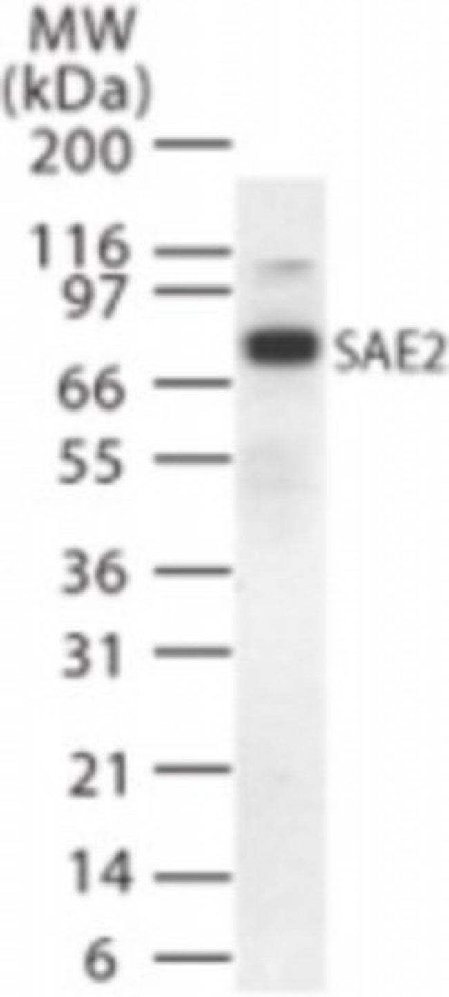 anti-SAE2, Polyclonal, Novus Biologicals:Antibodies:Primary Antibodies
