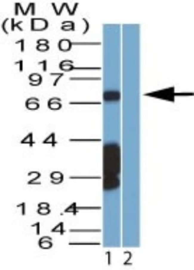 anti-SAMHD1, Polyclonal, Novus Biologicals:Antibodies:Primary Antibodies
