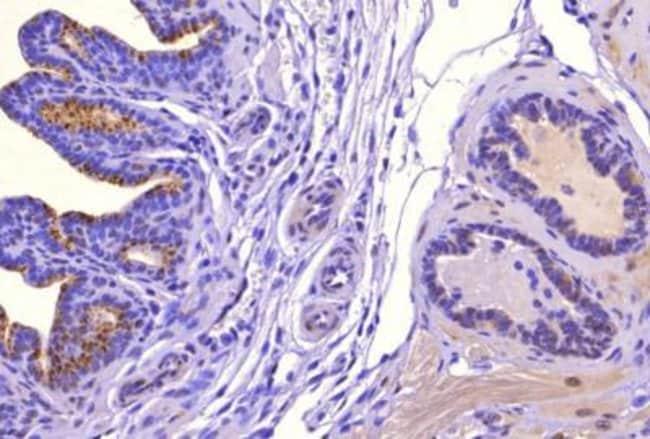 anti-SAT1, Polyclonal, Novus Biologicals:Antibodies:Primary Antibodies