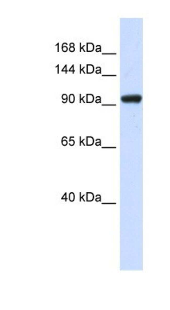 SCAND3 Rabbit anti-Human, Polyclonal, Novus Biologicals 100µL; Unlabeled:Life