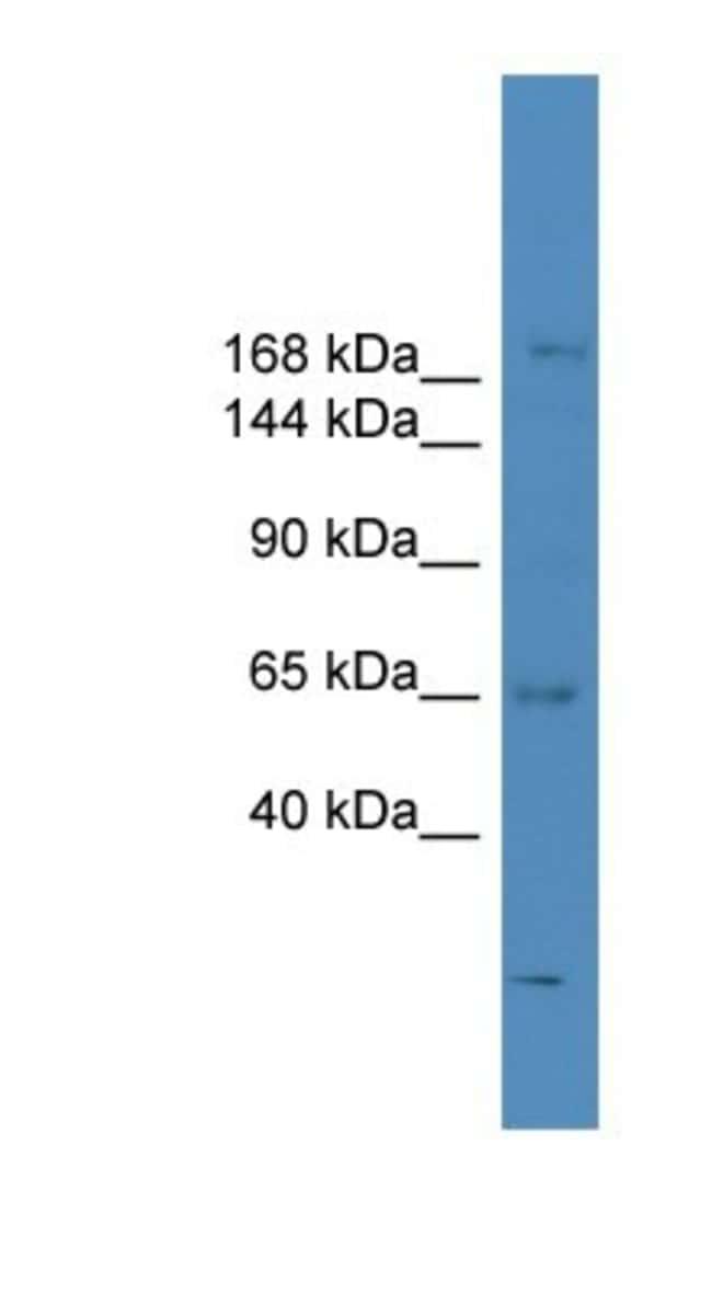 SCAPER Rabbit anti-Human, Polyclonal, Novus Biologicals 100µL; Unlabeled:Life