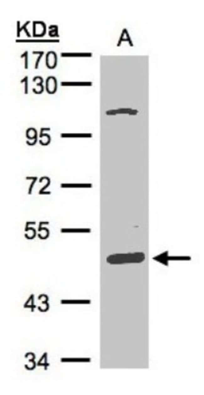 anti-SCARA3, Polyclonal, Novus Biologicals 0.1mL; Unlabeled:Life Sciences