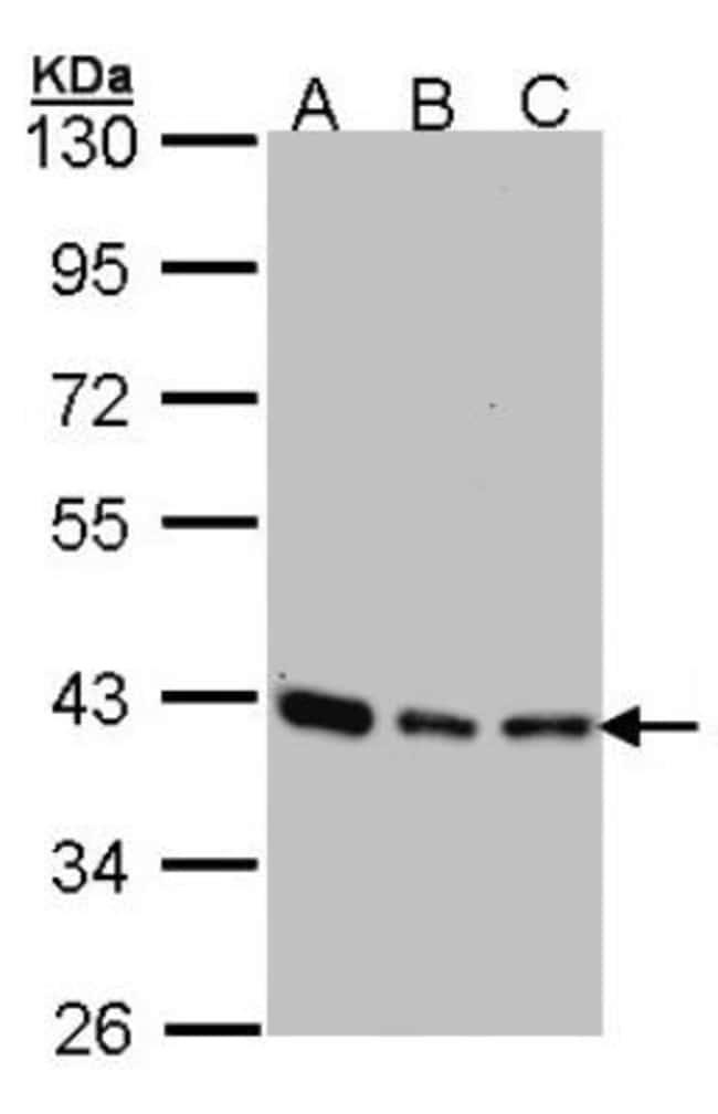 anti-SEC13L1, Polyclonal, Novus Biologicals 0.1mg; Unlabeled:Life Sciences