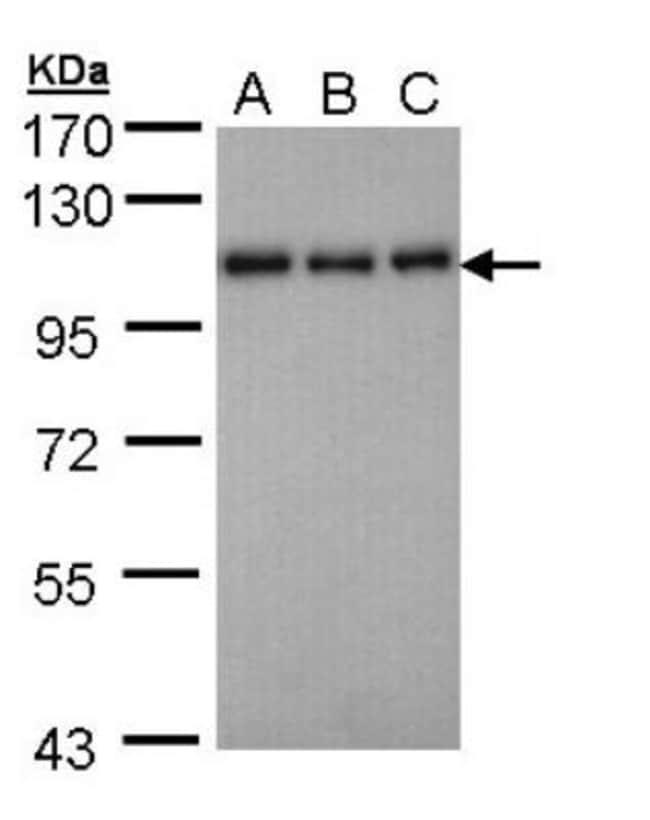 anti-Semaphorin 7A, Polyclonal, Novus Biologicals 0.1mL; Unlabeled:Antibodies