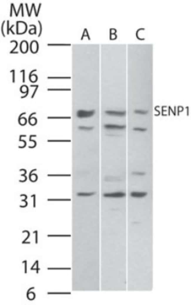 anti-SENP1, Polyclonal, Novus Biologicals:Antibodies:Primary Antibodies