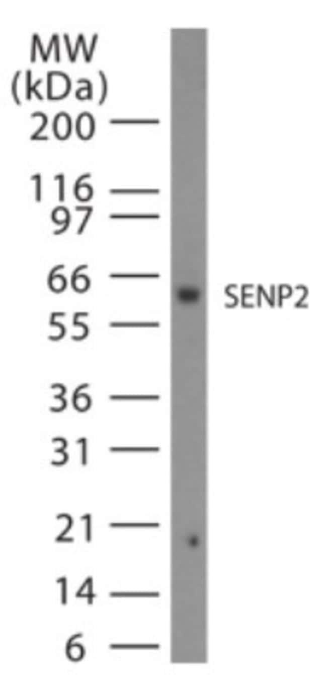 anti-SENP2, Polyclonal, Novus Biologicals:Antibodies:Primary Antibodies