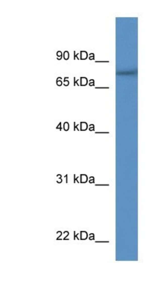 SERAC1 Rabbit anti-Human, Polyclonal, Novus Biologicals 100µL; Unlabeled:Life