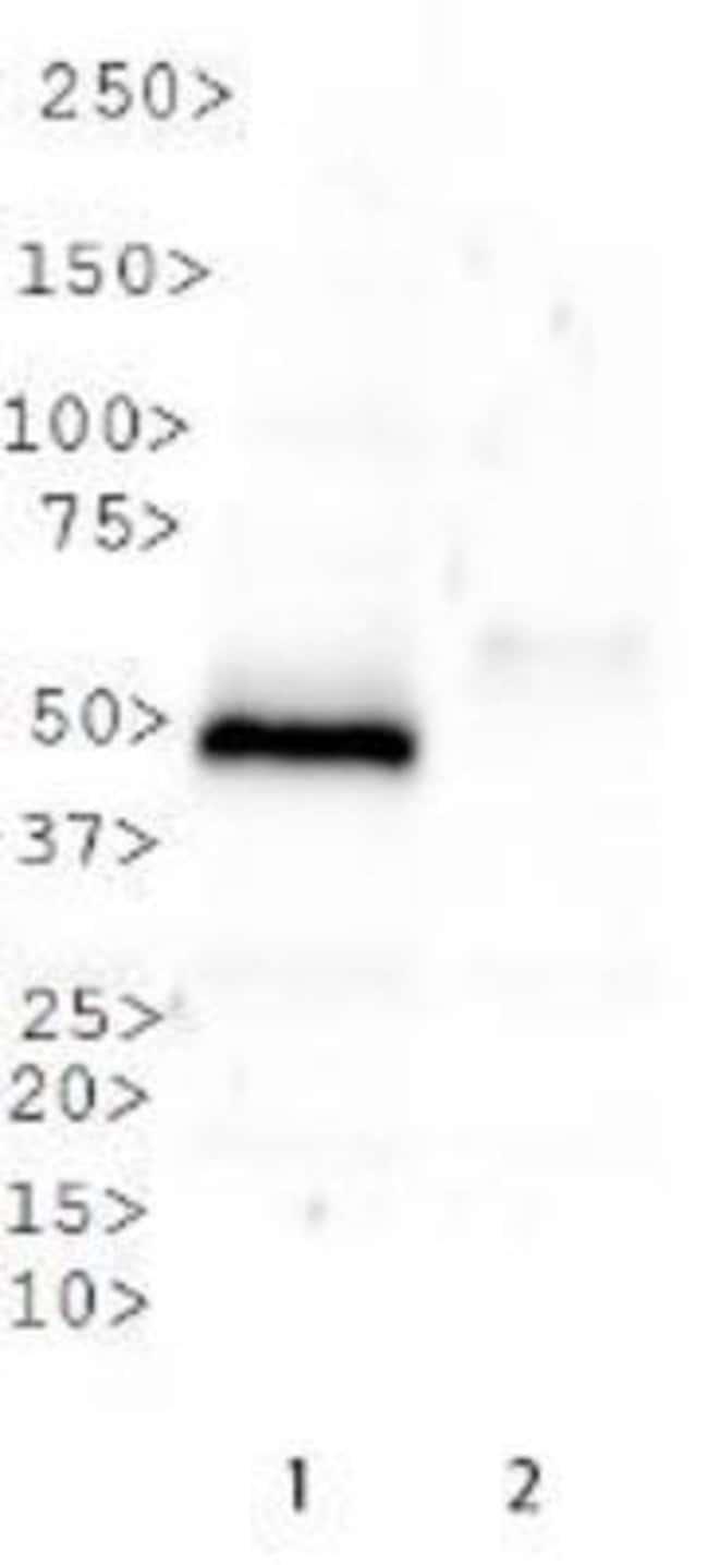 anti-SETD8, Polyclonal, Novus Biologicals:Antibodies:Primary Antibodies