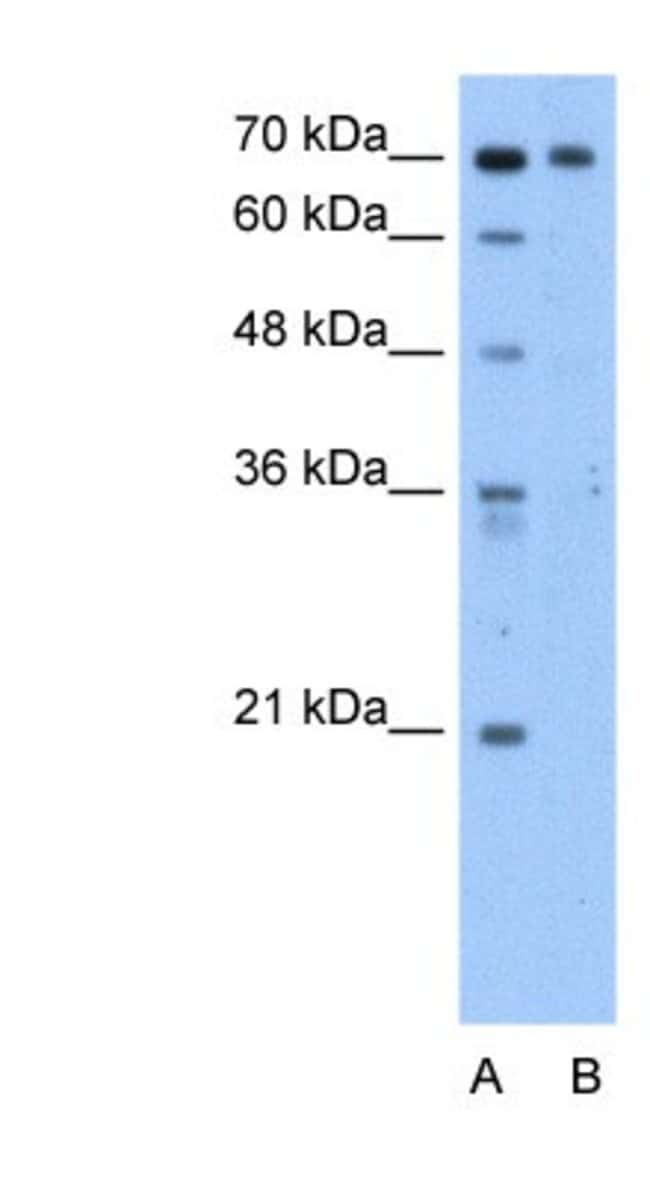 SgK071 Rabbit anti-Human, Polyclonal, Novus Biologicals 100µL; Unlabeled:Life