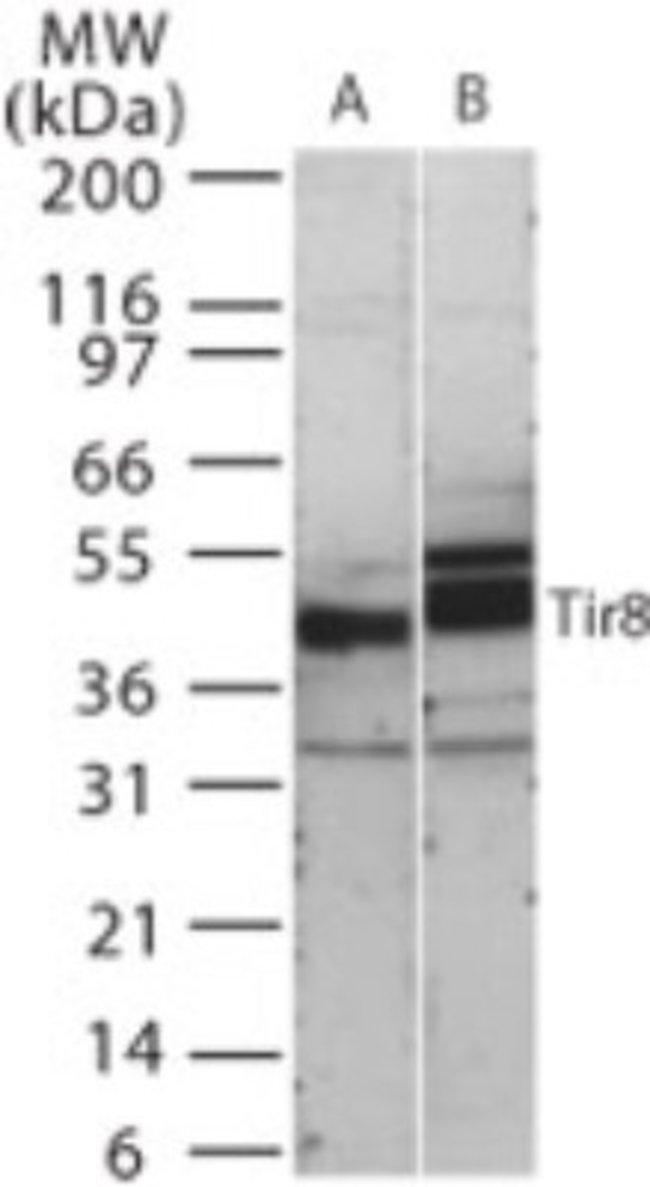 anti-SIGIRR, Polyclonal, Novus Biologicals:Antibodies:Primary Antibodies