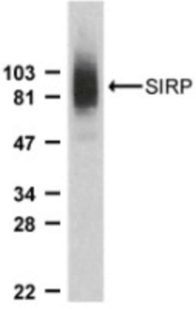 anti-SIRP alpha/CD172a, Polyclonal, Novus Biologicals 0.1mg; Unlabeled:Life