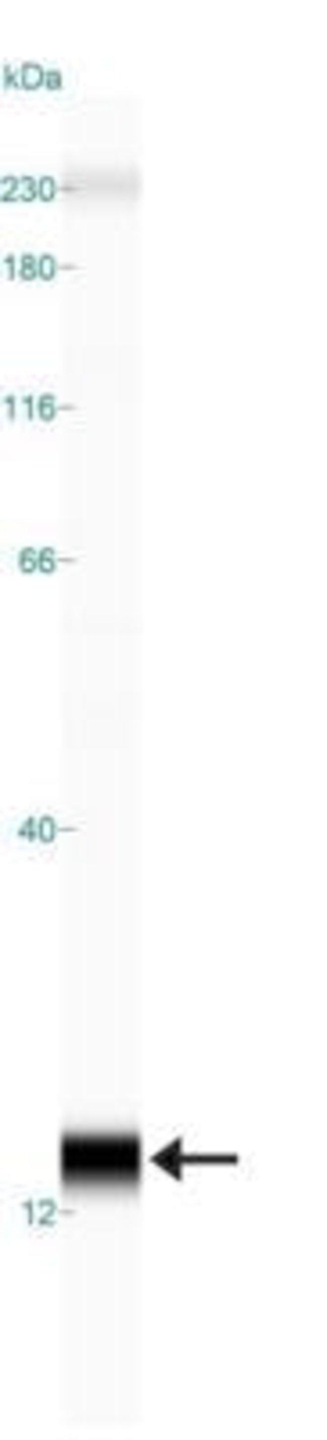 anti-SLIRP, Polyclonal, Novus Biologicals:Antibodies:Primary Antibodies