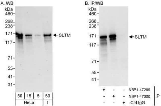 anti-SLTM, Polyclonal, Novus Biologicals 0.1mL; Unlabeled:Life Sciences