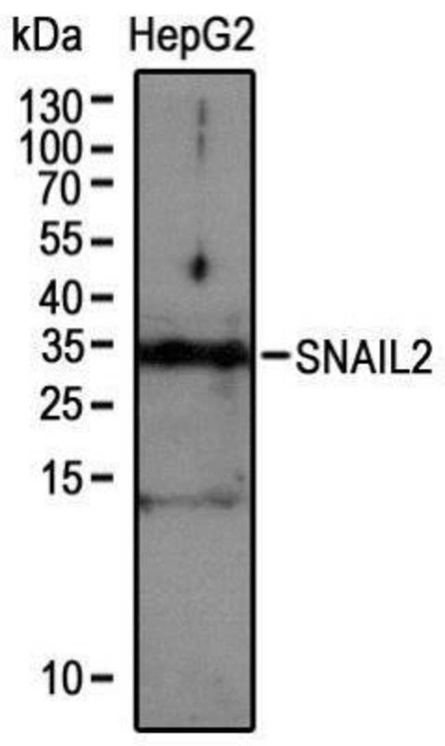 anti-Slug, Polyclonal, Novus Biologicals:Antibodies:Primary Antibodies