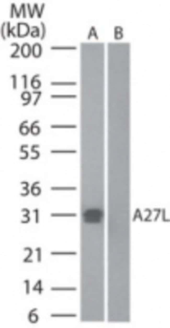 anti-Smallpox A27L, Polyclonal, Novus Biologicals:Antibodies:Primary Antibodies