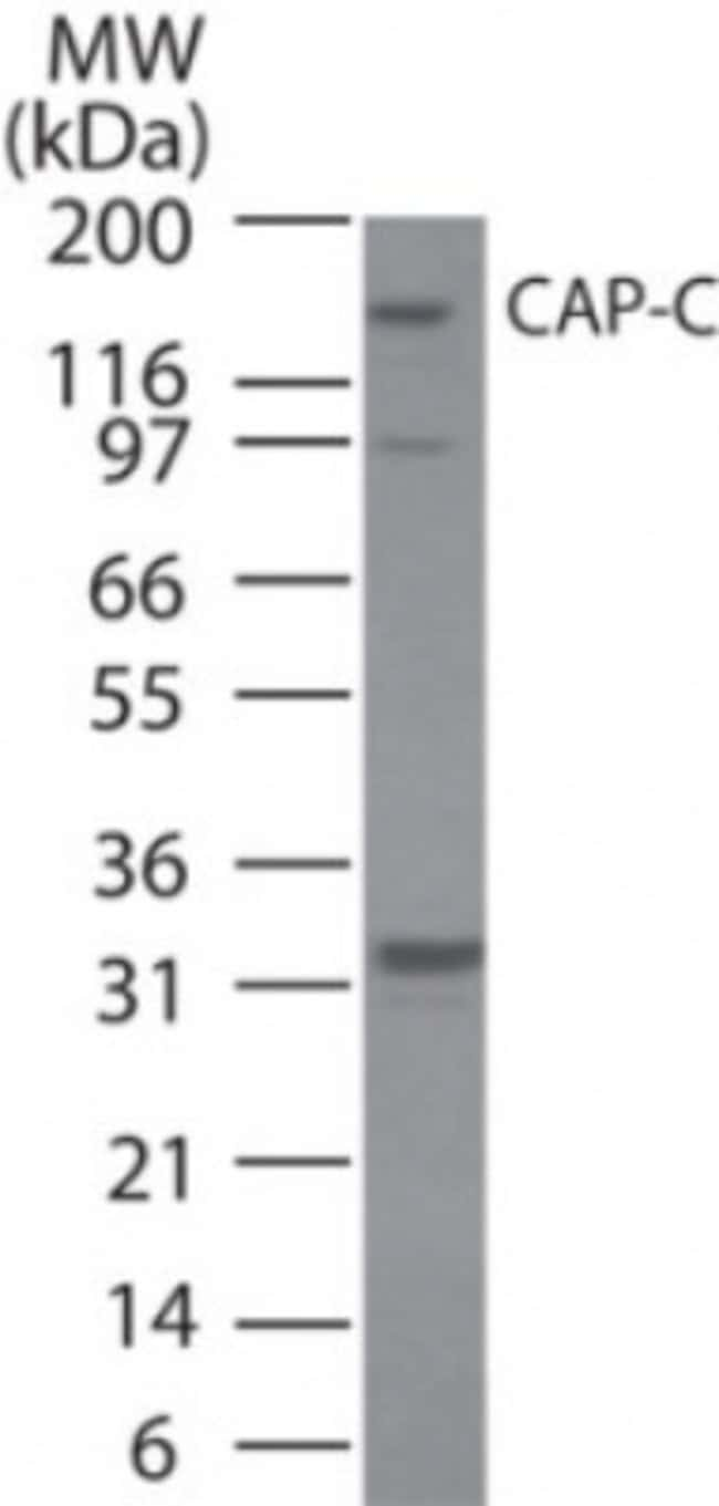 anti-SMC4, Polyclonal, Novus Biologicals:Antibodies:Primary Antibodies