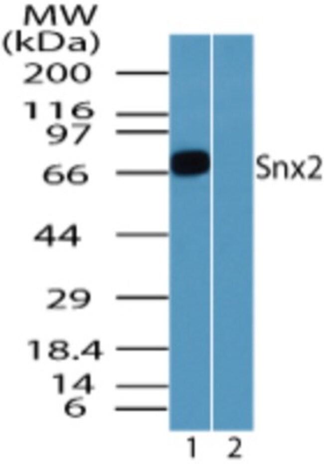 anti-SNX2, Polyclonal, Novus Biologicals:Antibodies:Primary Antibodies
