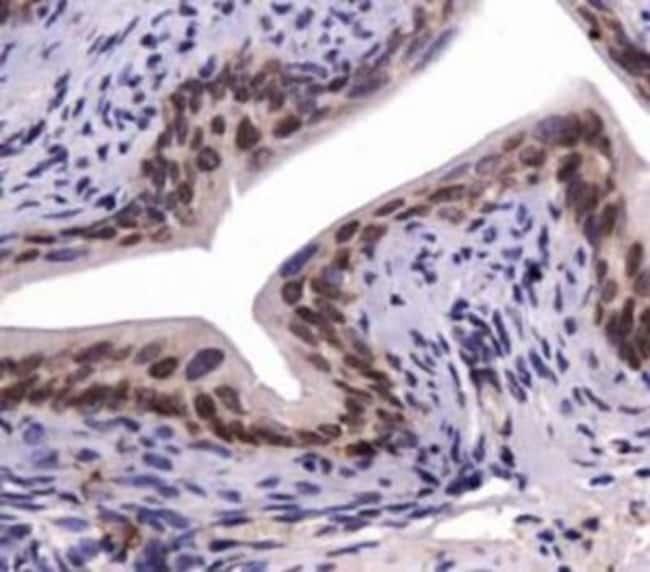 anti-SNX27, Polyclonal, Novus Biologicals:Antibodies:Primary Antibodies