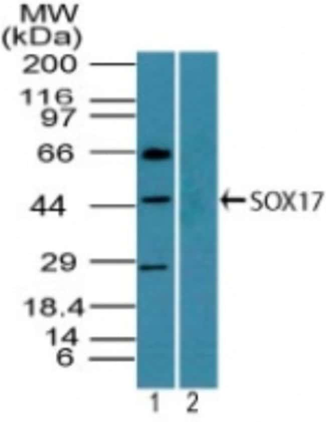 anti-SOX17, Polyclonal, Novus Biologicals:Antibodies:Primary Antibodies