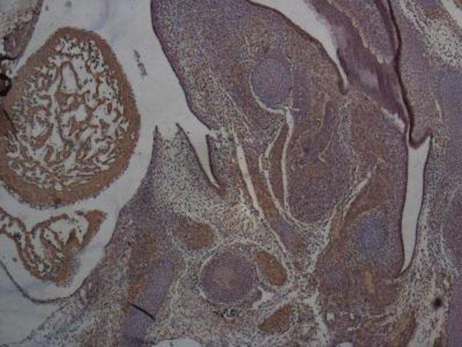 anti-SOX2, Polyclonal, Novus Biologicals:Antibodies:Primary Antibodies