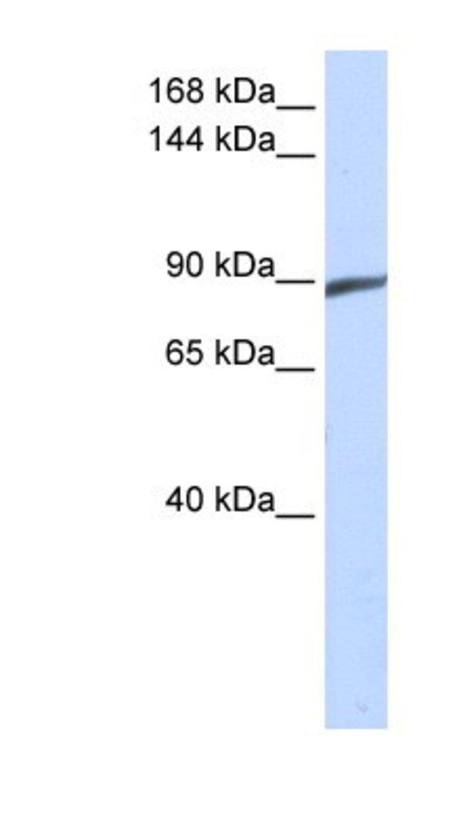 SPATA5 Rabbit anti-Human, Polyclonal, Novus Biologicals 100µL; Unlabeled:Life