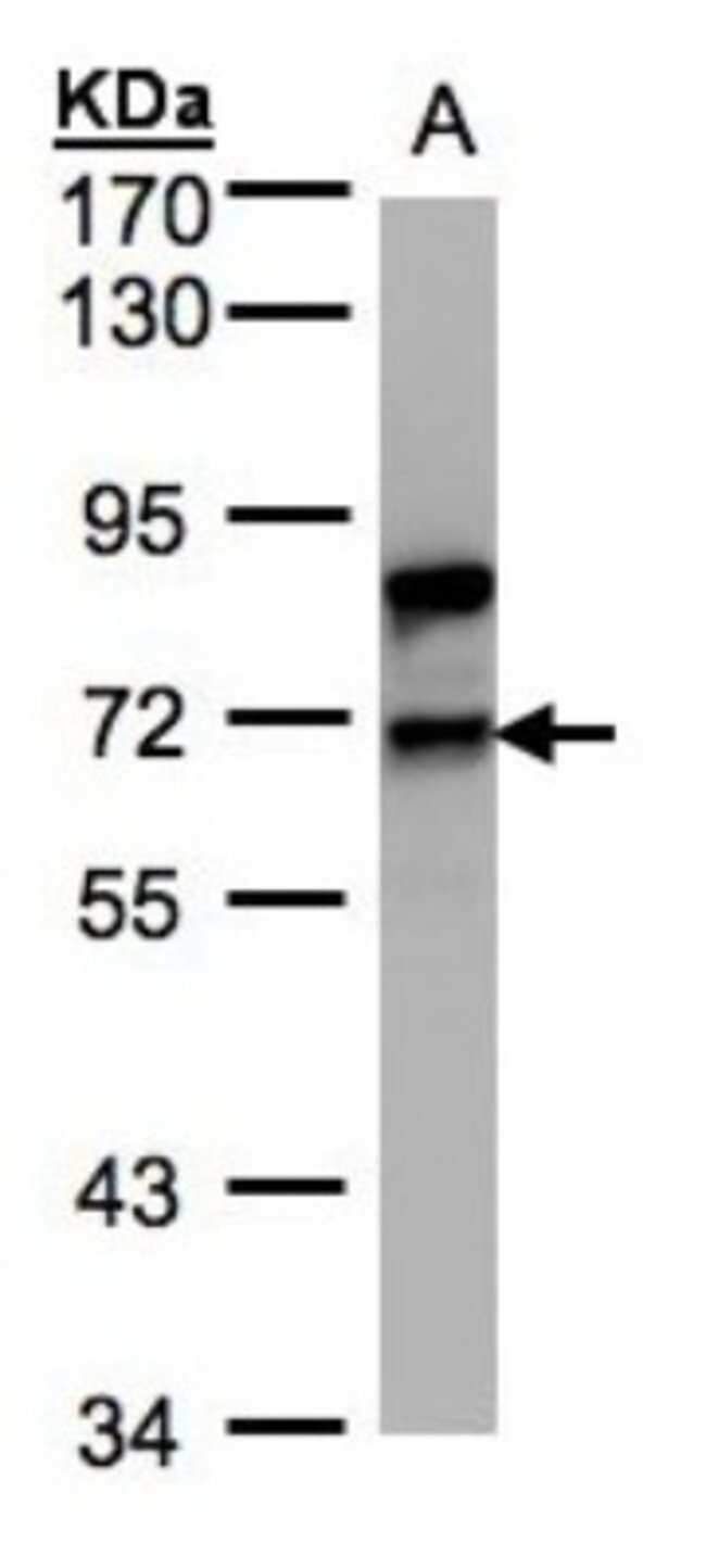 anti-Splicing Factor 1, Polyclonal, Novus Biologicals 0.1mL; Unlabeled:Life