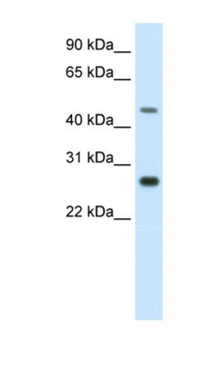 SPZ1 Rabbit anti-Mouse, Polyclonal, Novus Biologicals 100µL; Unlabeled:Life