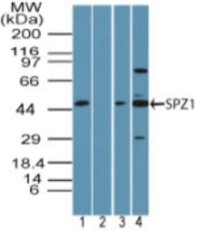anti-SPZ1, Polyclonal, Novus Biologicals:Antibodies:Primary Antibodies