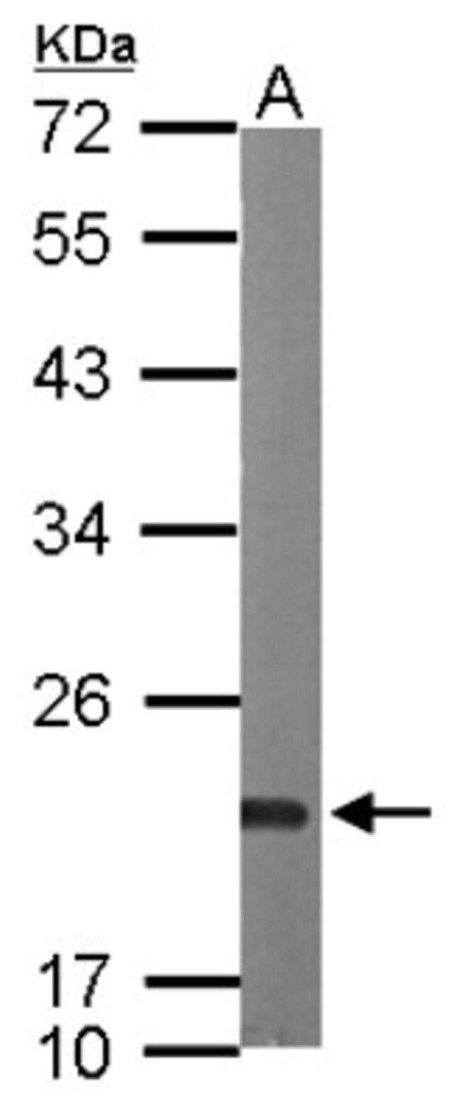 anti-SR1, Polyclonal, Novus Biologicals 0.1mL; Unlabeled:Life Sciences