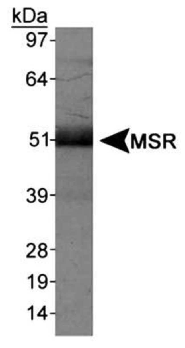 anti-SR-AI/MSR, Polyclonal, Novus Biologicals:Antibodies:Primary Antibodies