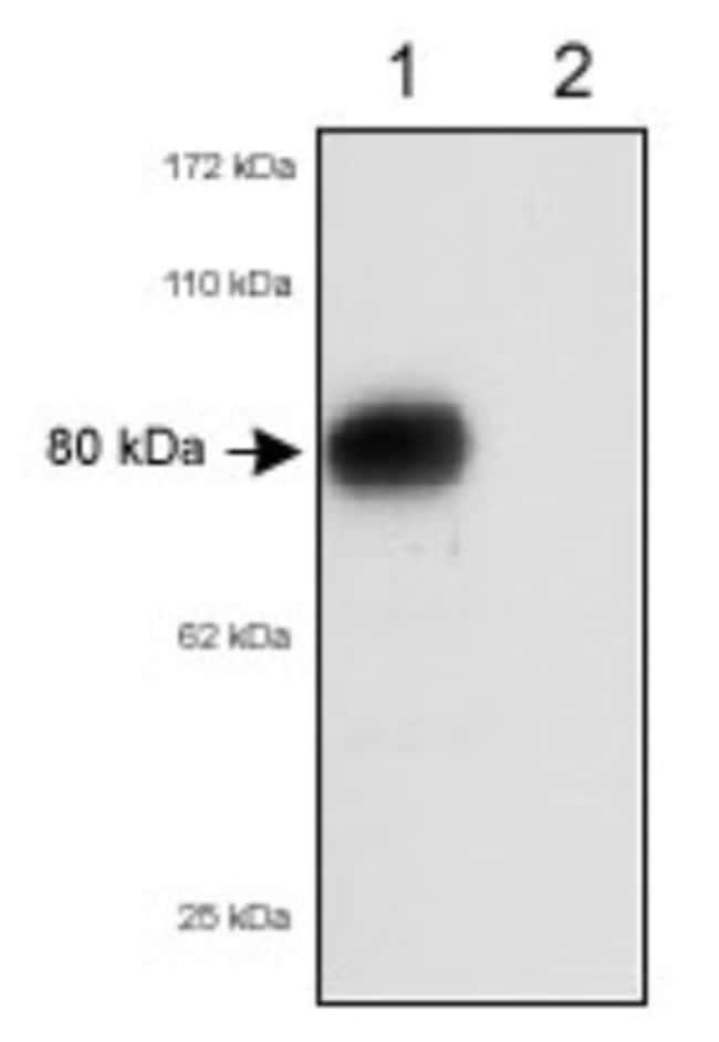 anti-SR-BI/SR-BII, Polyclonal, Novus Biologicals:Antibodies:Primary Antibodies