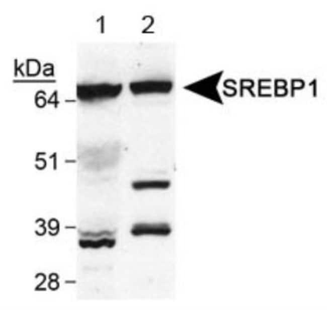 anti-SREBP1, Polyclonal, Novus Biologicals:Antibodies:Primary Antibodies