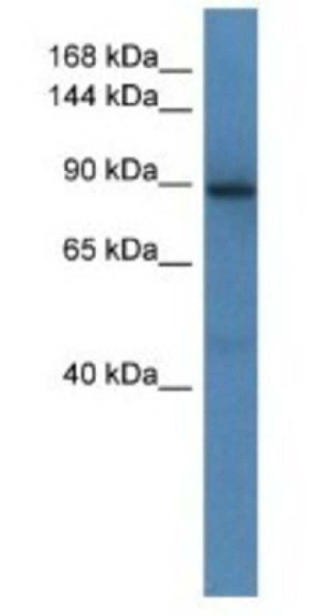 SRGAP1 Rabbit anti-Mouse, Polyclonal, Novus Biologicals 100µL; Unlabeled:Life
