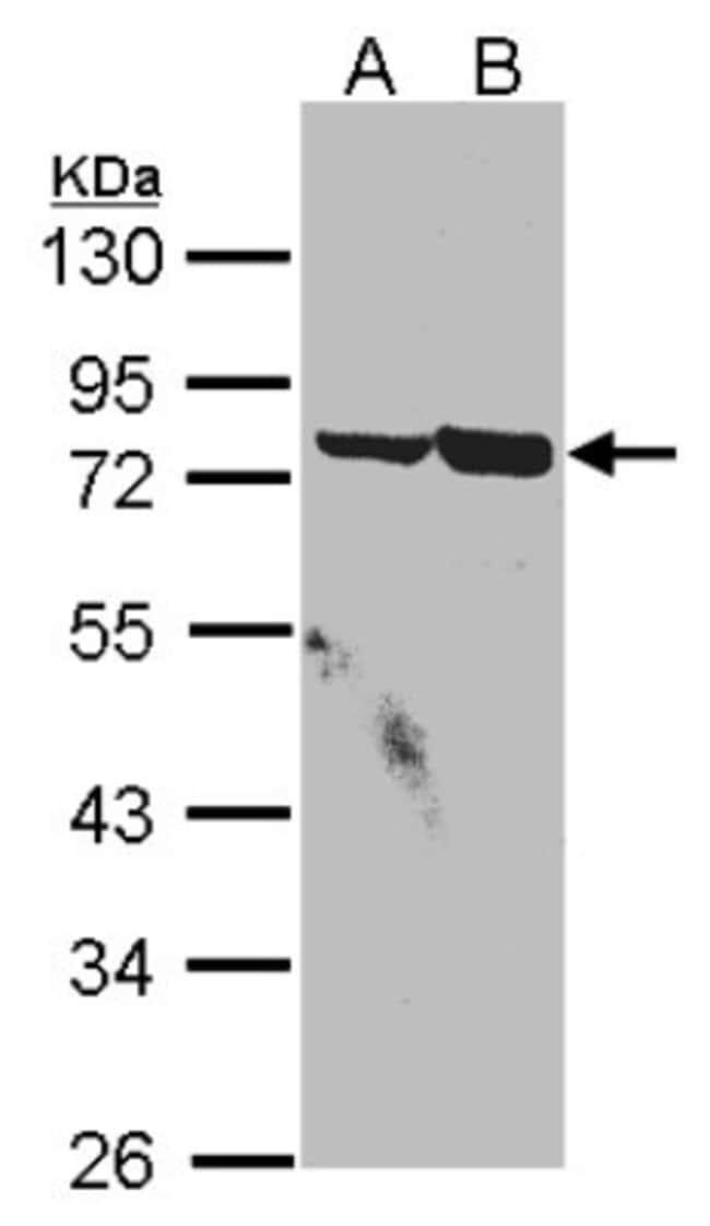 anti-SSX2IP, Polyclonal, Novus Biologicals 0.1mg; Unlabeled:Life Sciences