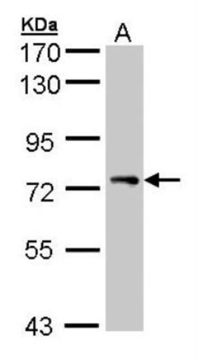 anti-STAM-1, Polyclonal, Novus Biologicals 0.1mg; Unlabeled:Life Sciences