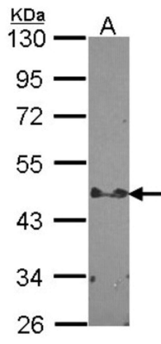 anti-STAP2, Polyclonal, Novus Biologicals 0.1mg; Unlabeled:Life Sciences