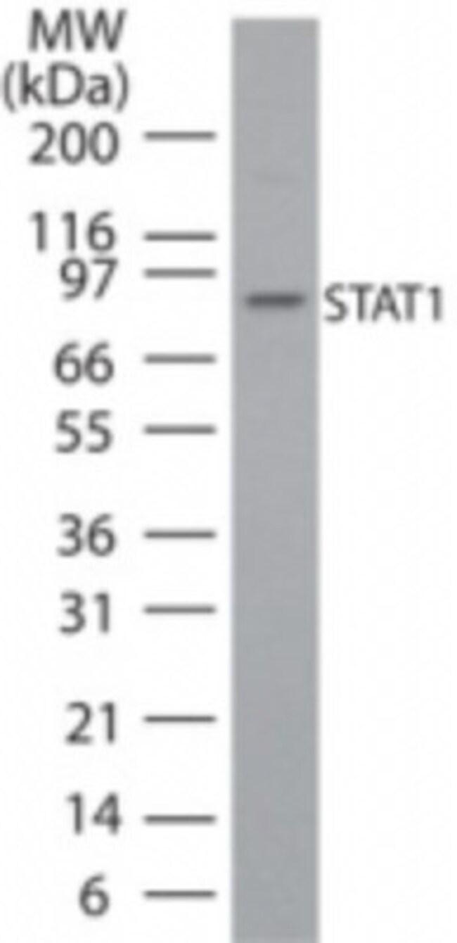 anti-STAT1, Polyclonal, Novus Biologicals:Antibodies:Primary Antibodies