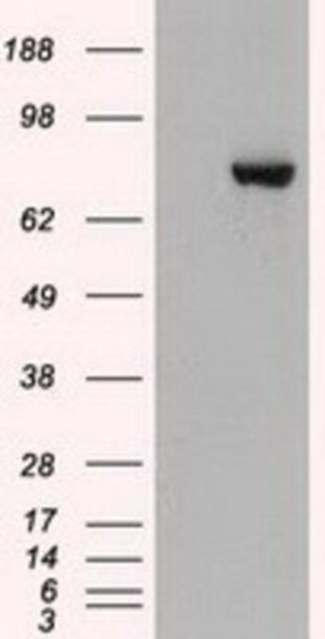anti-STAT3, Clone: 21E7, Novus Biologicals 0.1mL; Unlabeled:Life Sciences