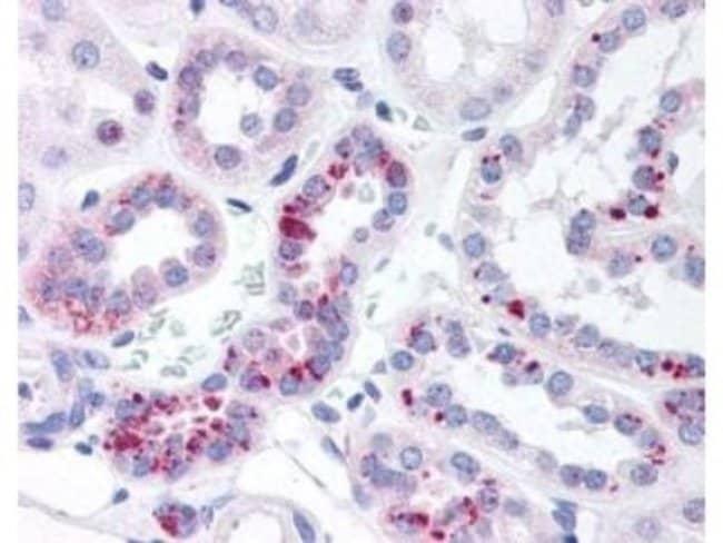 anti-STAT5a (p Tyr694), Polyclonal, Novus Biologicals 0.1mg; Unlabeled:Life