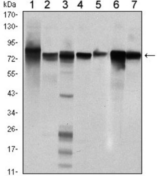 anti-STAT5b, Clone: 5B3, Novus Biologicals 0.1mL; Unlabeled:Life Sciences