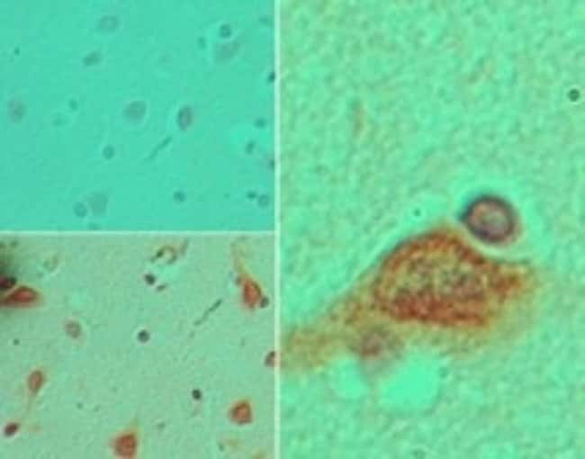 Stella/Dppa3 Rabbit anti-Human, Polyclonal, Novus Biologicals:Antibodies:Primary