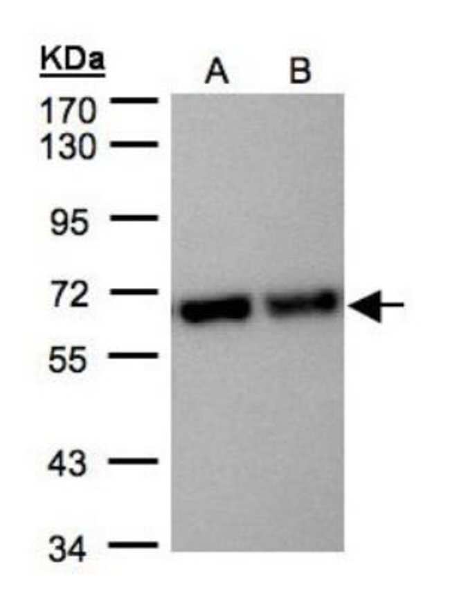 anti-STI1, Polyclonal, Novus Biologicals 0.1mg; Unlabeled:Antibodies