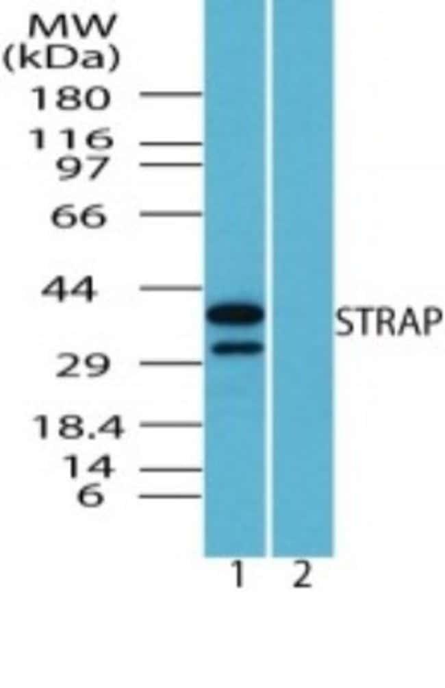 anti-STRAP, Polyclonal, Novus Biologicals:Antibodies:Primary Antibodies