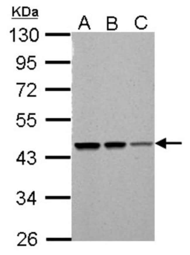 anti-SUG1, Polyclonal, Novus Biologicals 0.1mg; Unlabeled:Life Sciences