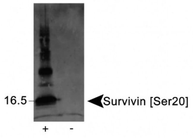anti-Survivin (p Ser20), Polyclonal, Novus Biologicals:Antibodies:Primary