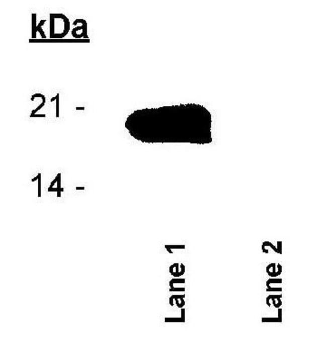 anti-Survivin (p Thr34), Polyclonal, Novus Biologicals:Antibodies:Primary