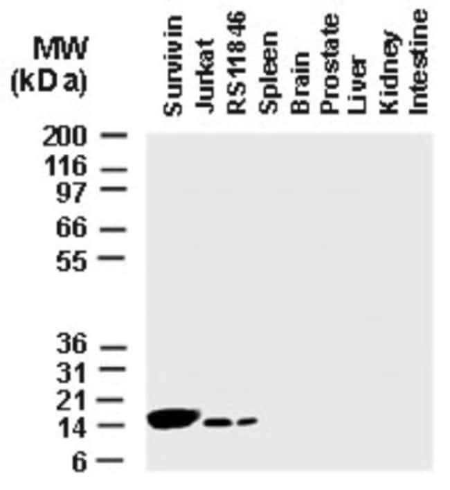 anti-Survivin, Polyclonal, Novus Biologicals:Antibodies:Primary Antibodies