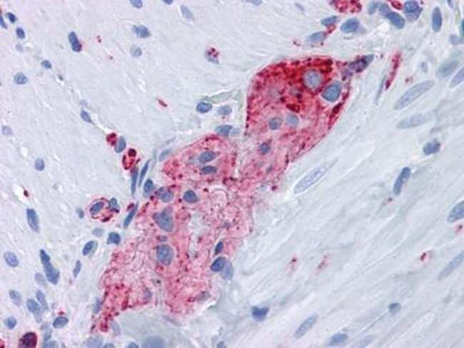 anti-Synaptophysin, Clone: 7H12, Novus Biologicals 0.1mL; Unlabeled:Life